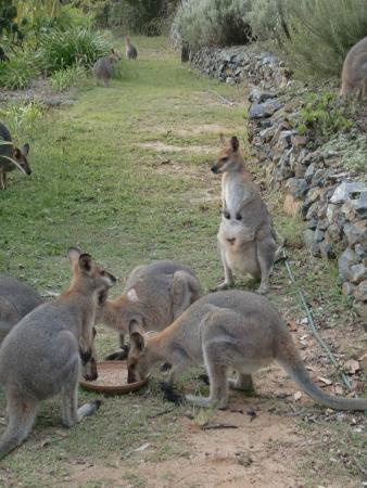 Wallaby Ridge Retreat: Kangaroo ( Wallaby) feeding every afternoon at 16.30 h