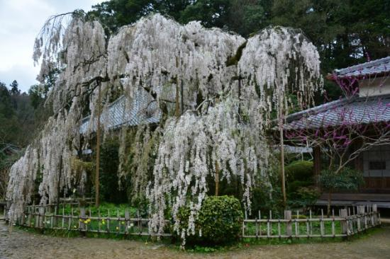 Onodera Temple: 枝垂れ小糸桜