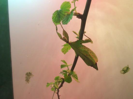 Esapolis - Museo Vivente degli insetti : insetto foglia