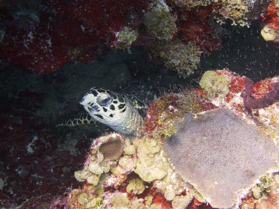 Nomad Divers: Turtle we saw on the first dive