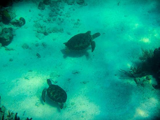 Turtles by Coral Gardens reef Picture of Beach House Turks