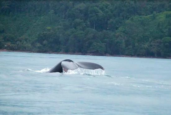 Drake Bay, Kostaryka: Cola de Ballena Jorobada