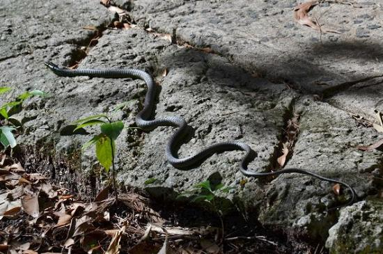 Fitzroy Island National Park: green tree snake sunning itself