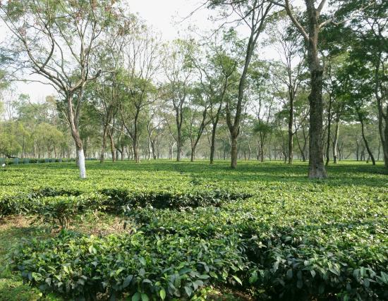 Florican Cottages: Tea estate close by