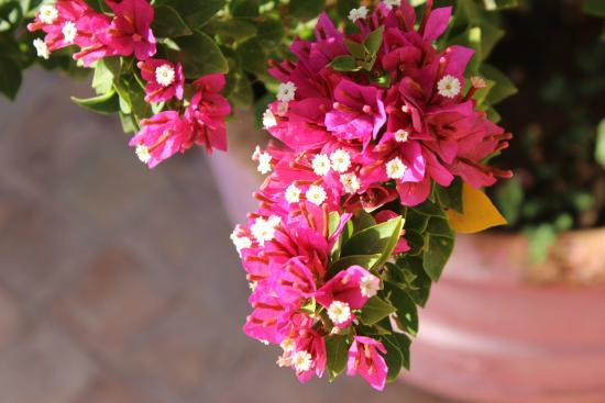 Dar Zemora: Flowering bougainvillea in the gardens