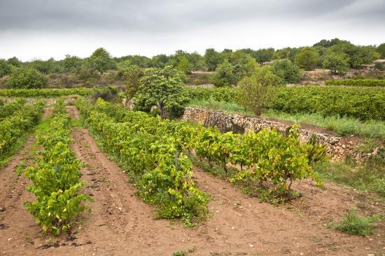 La Nou de Gaia, إسبانيا: Vinyes ecològiques