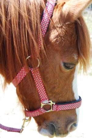 Wellington, Zuid-Afrika: pony