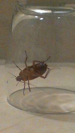 Hyatt Place Ontario / Rancho Cucamonga: Cockroach
