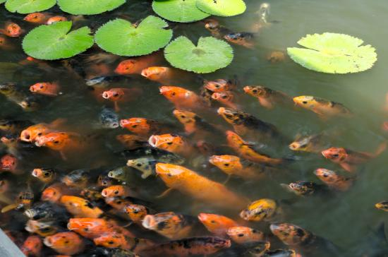 Japanese koi fishes picture of itc sonar kolkata for Best food for koi fish