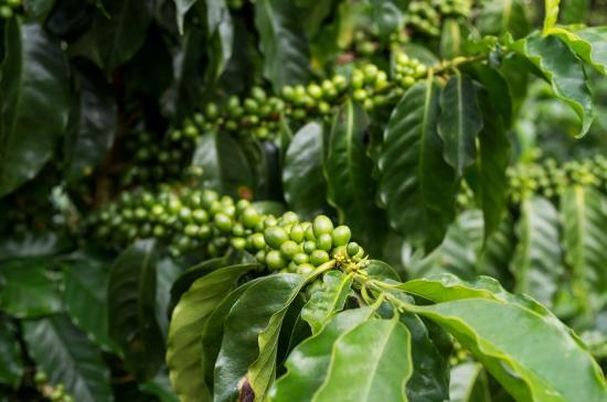planta de café picture of rancho la botija mountain lodge rivas
