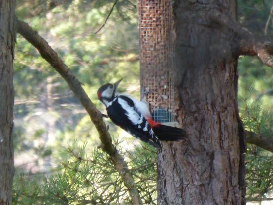 RSPB Loch Garten: Woodpecker