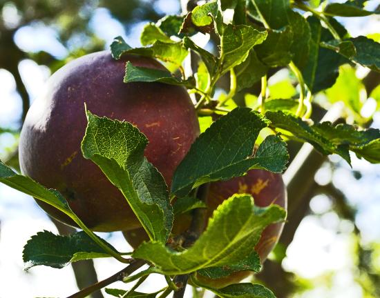 The Black Range Lodge: Apples ripening in the orchard.