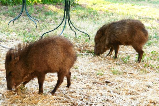 The Black Range Lodge: Wildlife, such as birds, deer, javalina (pictured) & wild turkeys live in the surrounding  fores