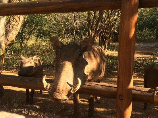 Hoedspruit Wildlife Estate: Warthog coming to say 'hi'.