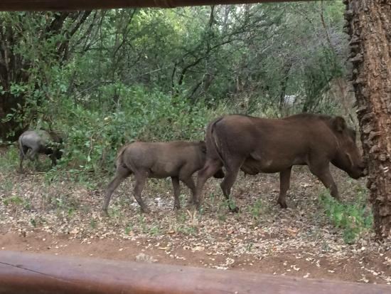 Hoedspruit Wildlife Estate: Warthog family going for a drink. Daily view whilst having coffee outside