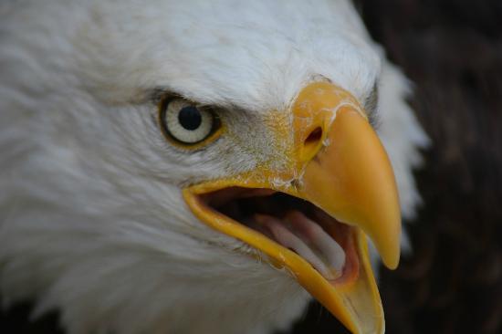Calahorra, Испания: Águila calva