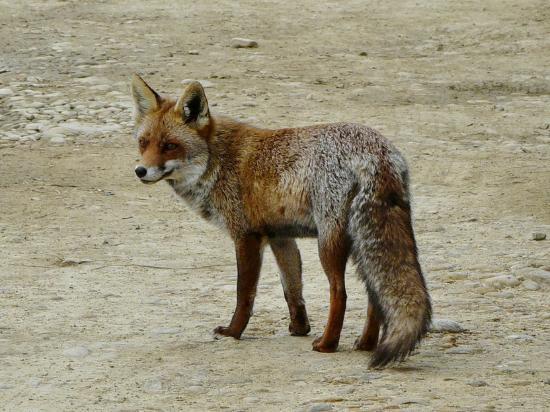 Les Marais du Vigueirat: La renarde venue nous faire un coucou à notre arrivée sur le parking, première belle surprise !