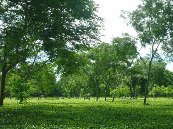 Tezpur, India: Picture perfect tea garden.