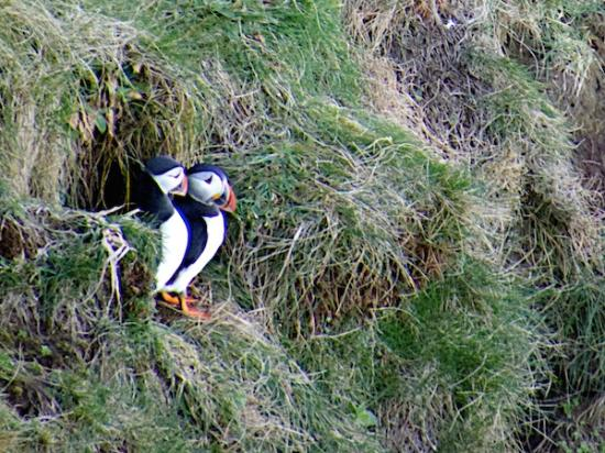 Puffins at the Bullers of Buchan