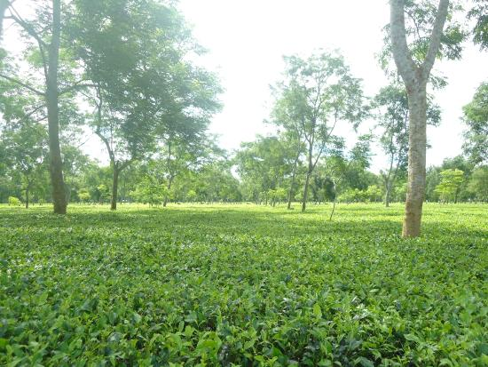 Tea gardens dot Tezpur.