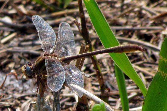 Lake June-in-Winter Scrub State Park: Clubtail Dragonfly