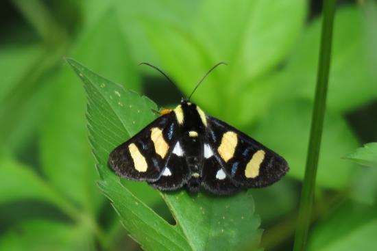 Lake June-in-Winter Scrub State Park: Whittfeld's Forrester, beautiful moth