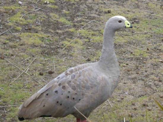 Rocky River Heritage Accommodation: Cape Barren goose at Postman's cottage