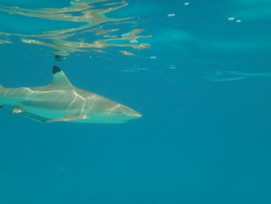 Haapiti, Polinesia francese: Black-tipped reef sharks