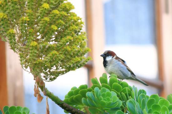 Kluney Manor: The House Sparrow on Aeonium.