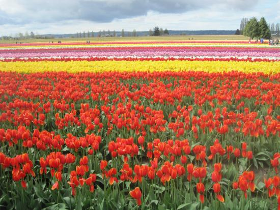 Cheryl's Northwest Tours LLC - Day Tours: Fields and fields of tulips