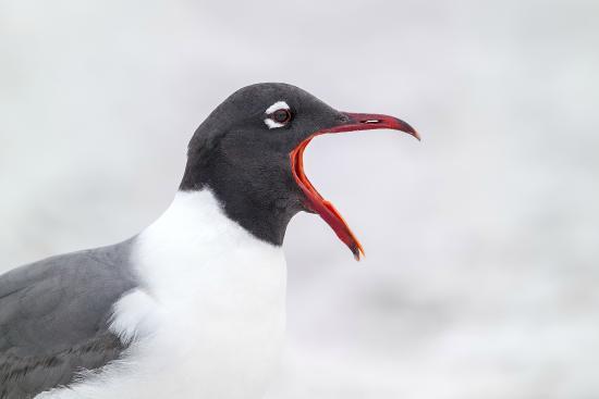Tierra Verde, ฟลอริด้า: Laughing Gull