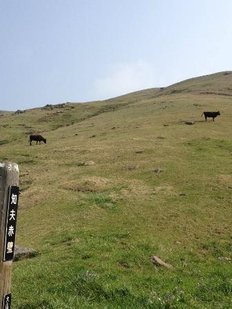 Oki Chibu Red Cliff: 牛