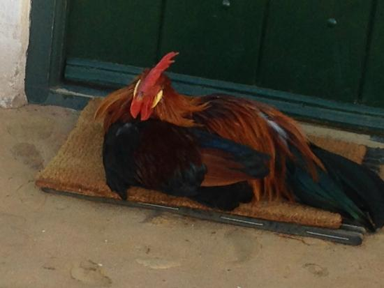 Babylonstoren: the rooster never disappoints