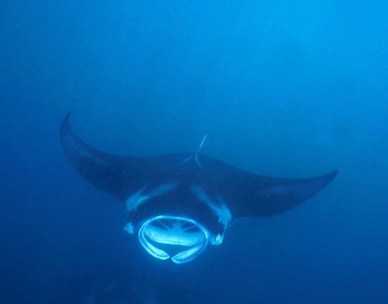 Faafu Atoll: Ray