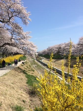 Shiroishigawa Embankment Hitome Sembonzakura: Spring scenery 1