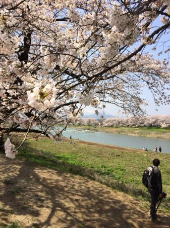 Shiroishigawa Embankment Hitome Sembonzakura: Spring scenery 2