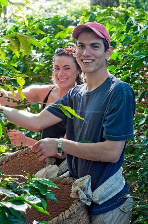 Finca Rosa Blanca Coffee Plantation & Inn: Guests picking organic coffee at our plantation