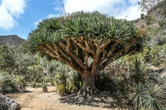 A Dragon Tree Picture Of Wrigley Memorial Botanic Garden Avalon Tripadvisor