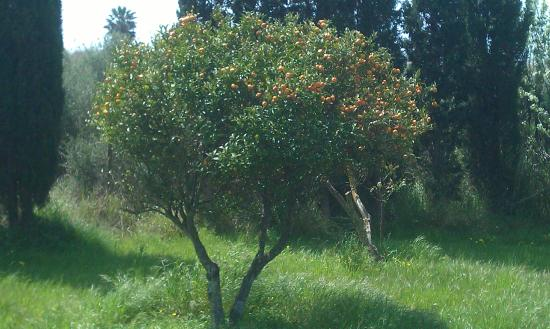 Pol·lèntia: Tangarine tree at the theatre