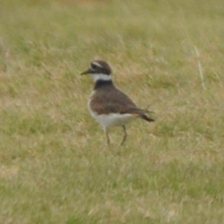 Killdeer, Lake Balmorhea