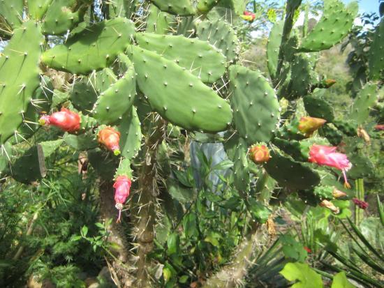 Vallarta Botanical Gardens: Cactus In Bloom At The Botanical Gardens Near Puerto  Vallarta.