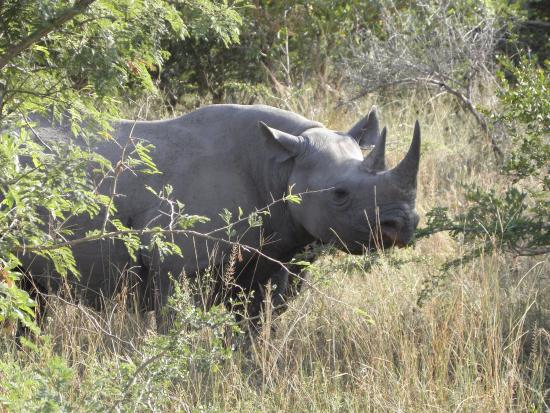Thornybush Private Game Reserve, Sudáfrica: Rhino.jpg