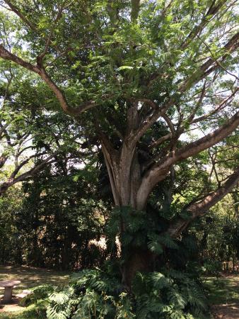 Alajuela, Costa Rica: Árboles del lugar