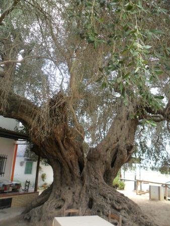 Restaurante Toruno: Uno de los olivos