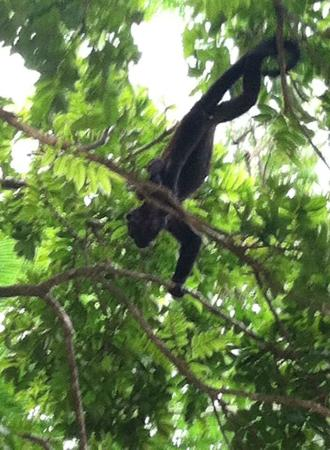 Rancho Ricco: howler monkeys