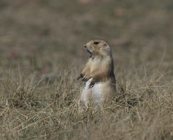 Grasslands National Park: Black-tailed prairie dog