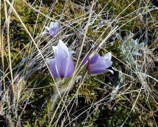 Grasslands National Park: Many crocus blooming in the park in April