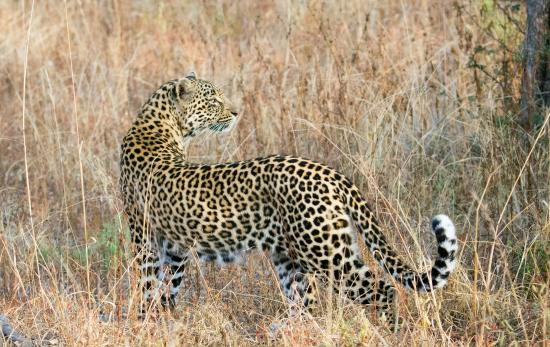 Vuyatela Lodge & Galago Camp: Beautiful female leopard seen on Djuma