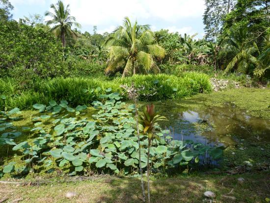 Sepilok Forest Edge Resort: Lotos lake and surrounding landscape