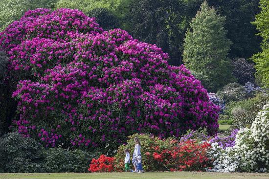 Stranraer, UK: Rhododendrons at Castle Kennedy Gardens